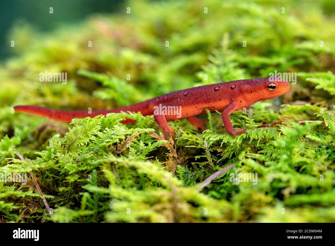 Red Eft of Eastern Newt (Notophthalmus viridescens) - DuPont State Recreational Forest near Hendersonville, North Carolina, USA Stock Photo