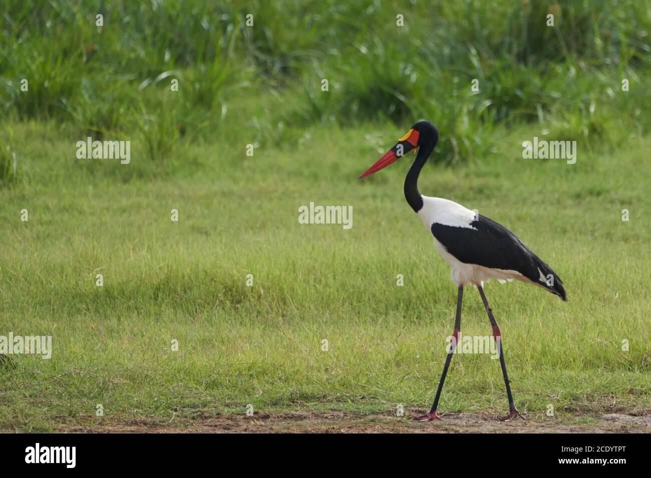 Saddle billed stork saddlebill Ephippiorhynchus senegalensis Ciconiidae Stock Photo