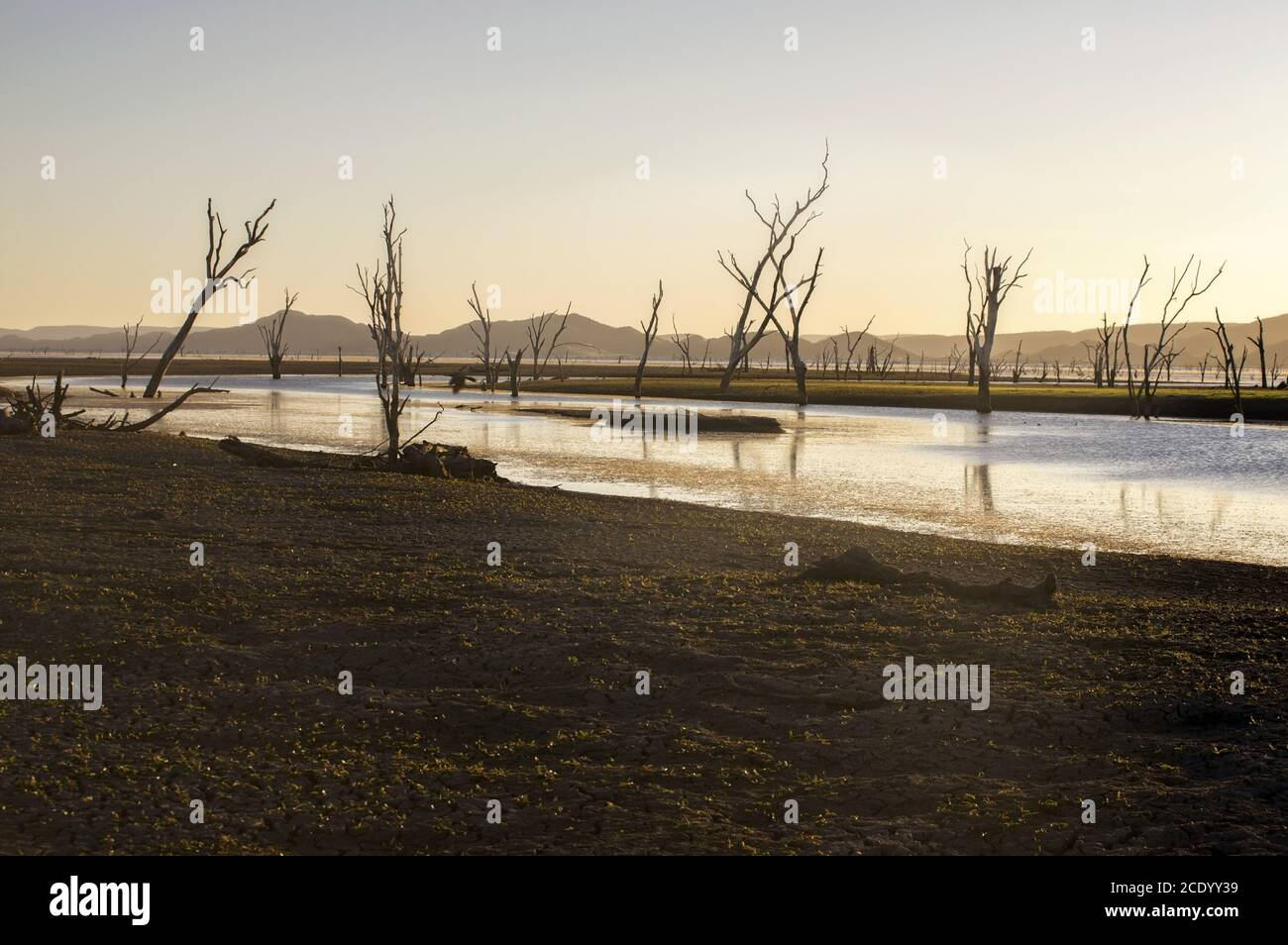 Dead trees at the swamp of Lake Argyle at sunset with clear sky as background at the outback in Australia – wallpaper Stock Photo