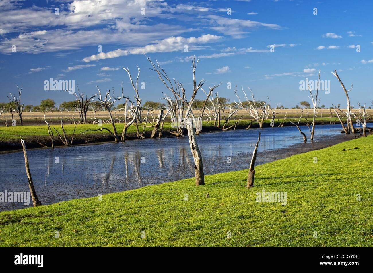 Dead trees at the swamp of Lake Argyle at sunset with blue sky as background at the outback in Australia – wallpaper Stock Photo