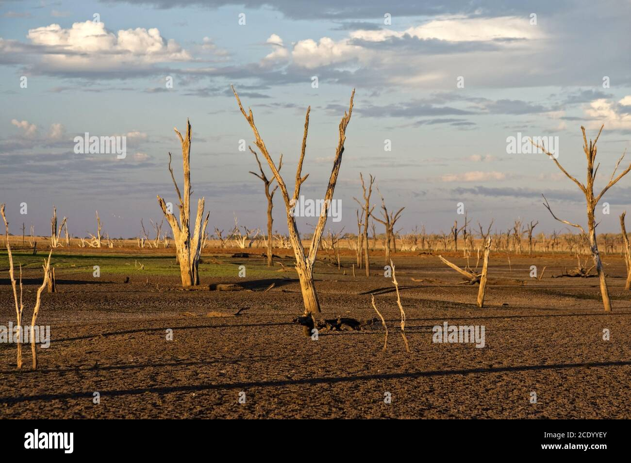 Dead trees at the wasteland of Lake Argyle at sunset with claudy sky as background at the outback in Australia with copy space Stock Photo