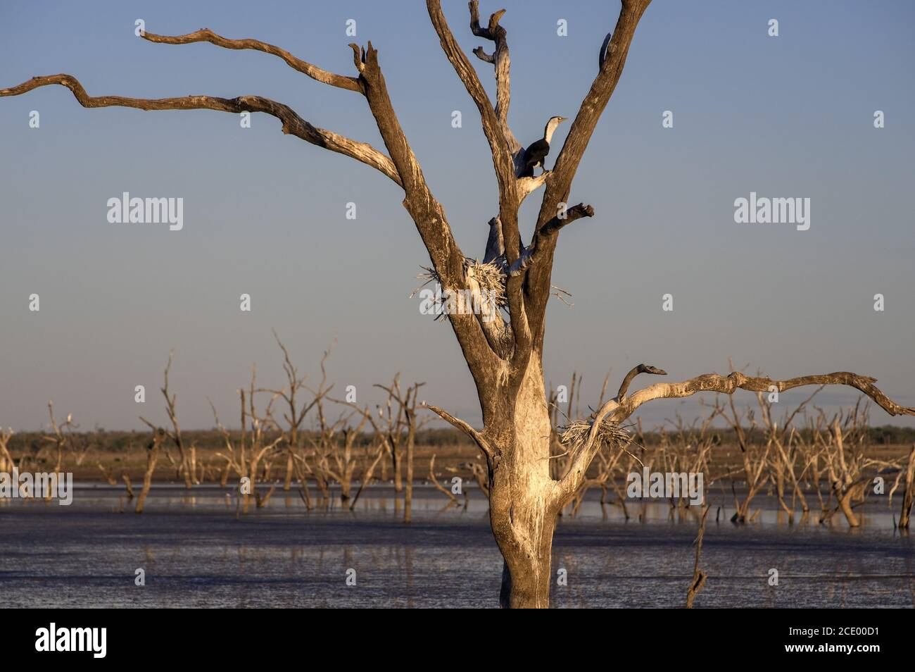 Dead trees at the swamp of Lake Argyle at twilight with a pied cormorant breeding in a nest at the outback in Western Australia Stock Photo