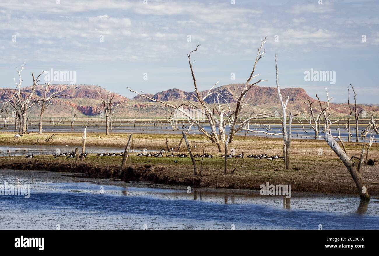 Dead trees at the swamp of Lake Argyle with a group of magpie goose and mountains in the background at the outback in Australia Stock Photo
