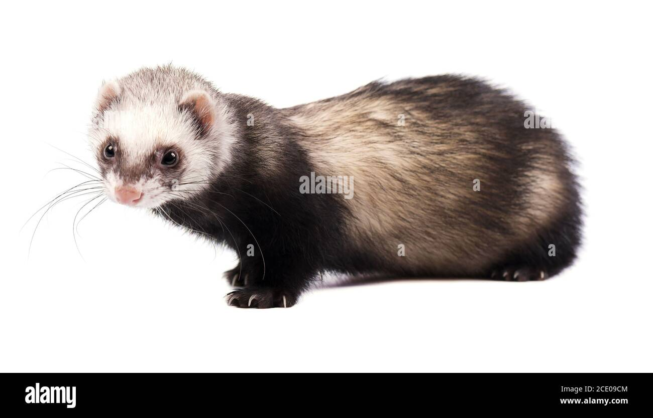 Grey ferret in full growth, isolated on white background Stock Photo