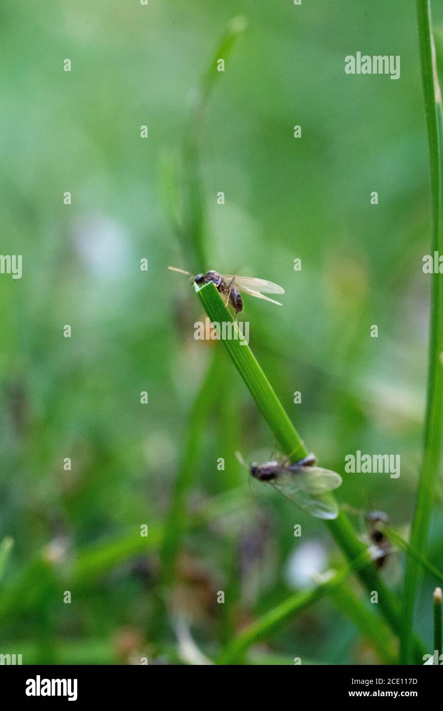 Flying Ants hatching out and flying from Green Grass stems august summertime Stock Photo
