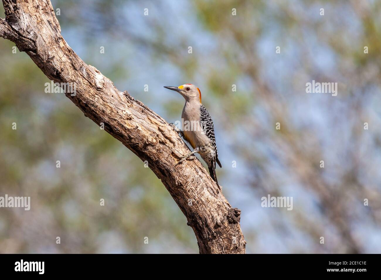 Male Golden-fronted Woodpecker, Melanerpes aurifrons, at the Javelina-Martin ranch and refuge near McAllen, Texas, in the Rio Grande Valley. Stock Photo