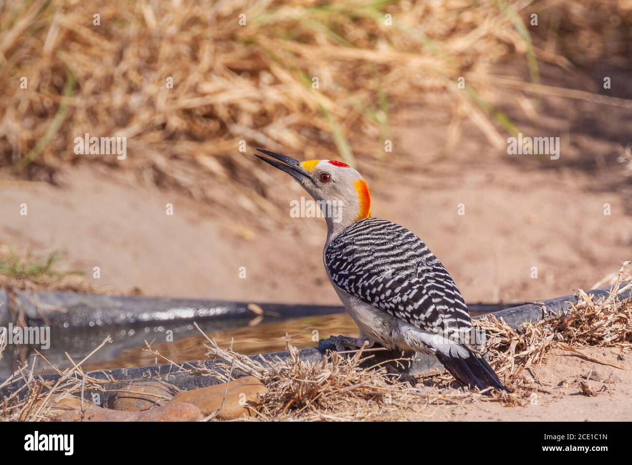 Golden-fronted Woodpecker, Melanerpes aurifrons, at the Javelina-Martin ranch and refuge near McAllen, Texas, in the Rio Grande Valley. Stock Photo
