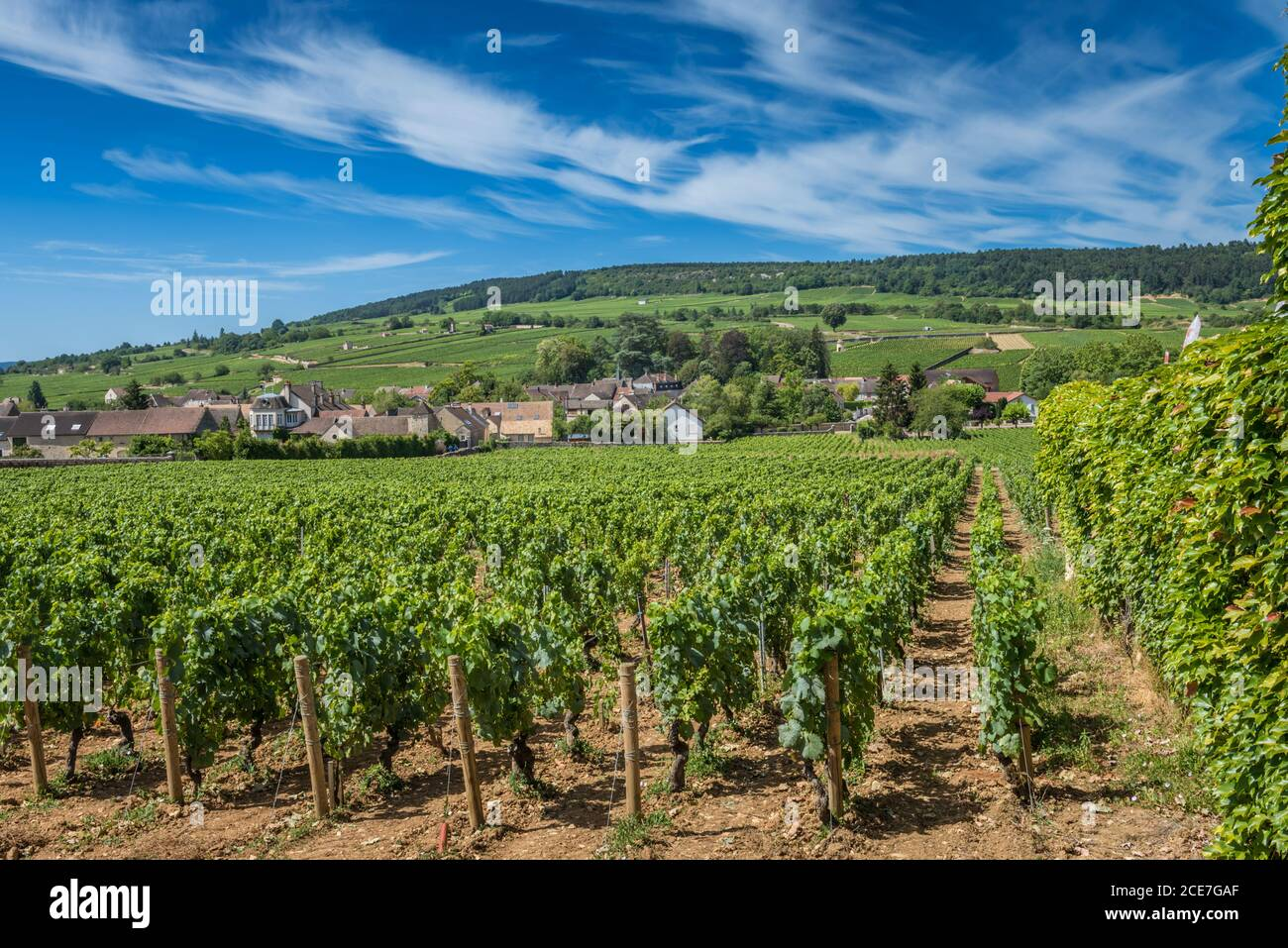 View of in the vineyard in Burgundy Bourgogne home of pinot noir and chardonnay in summer day with blue sky. Cote d'Or Stock Photo