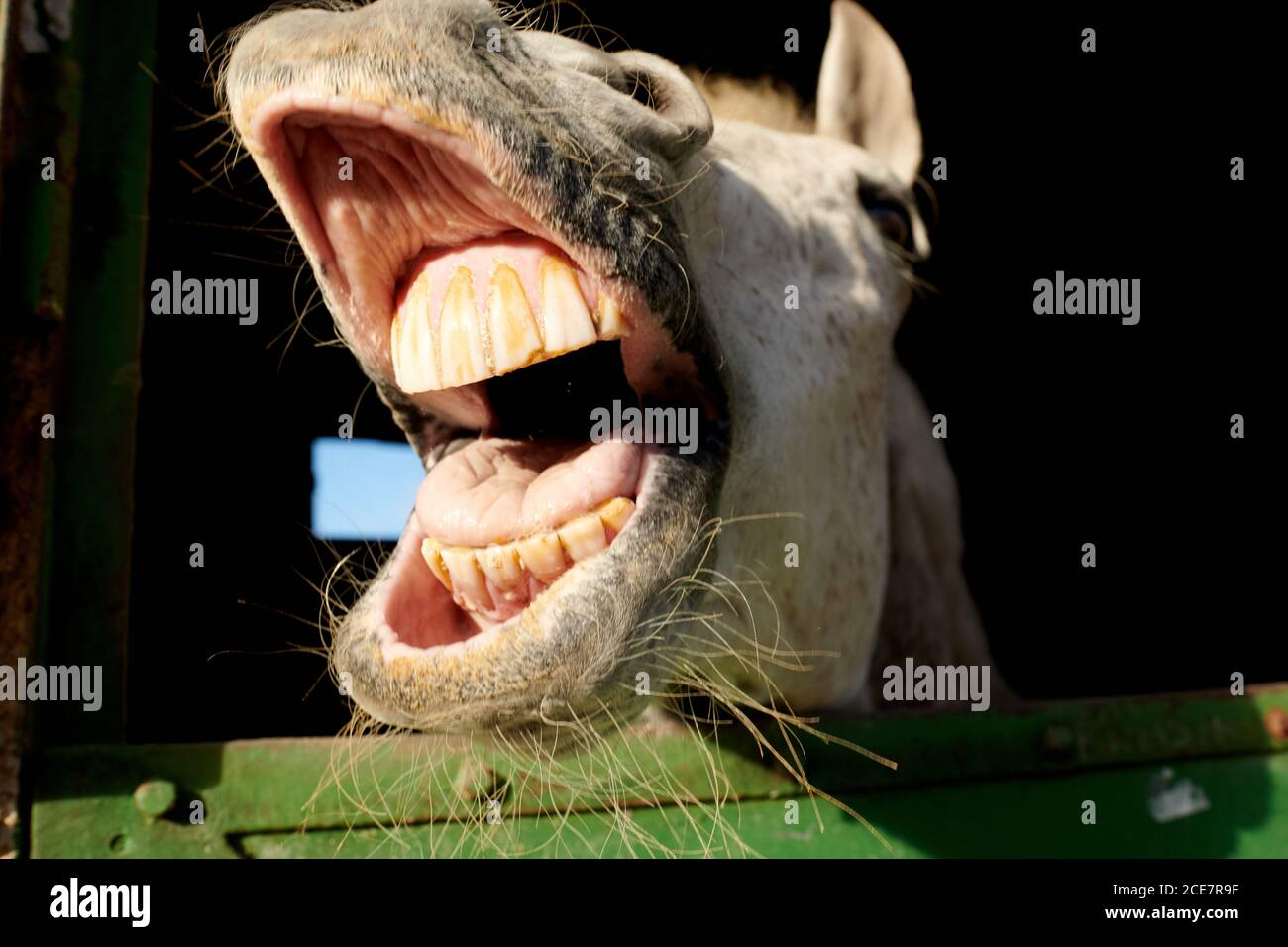 Laughing Horse Funny High Resolution Stock Photography And Images Alamy