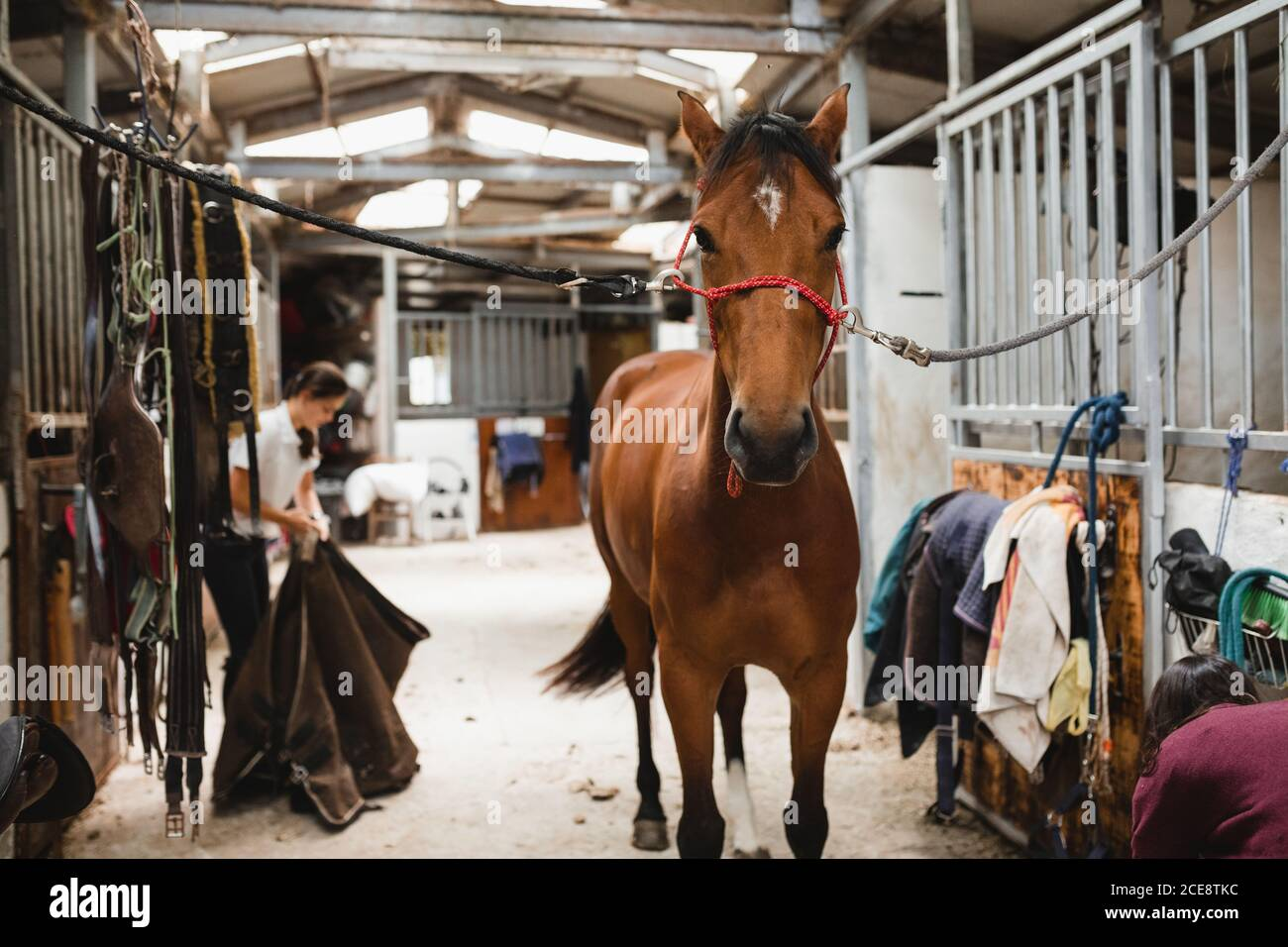 Cute Chestnut Horse In Bridle Standing In Shabby Barn On Ranch And Looking At Camera Stock Photo Alamy