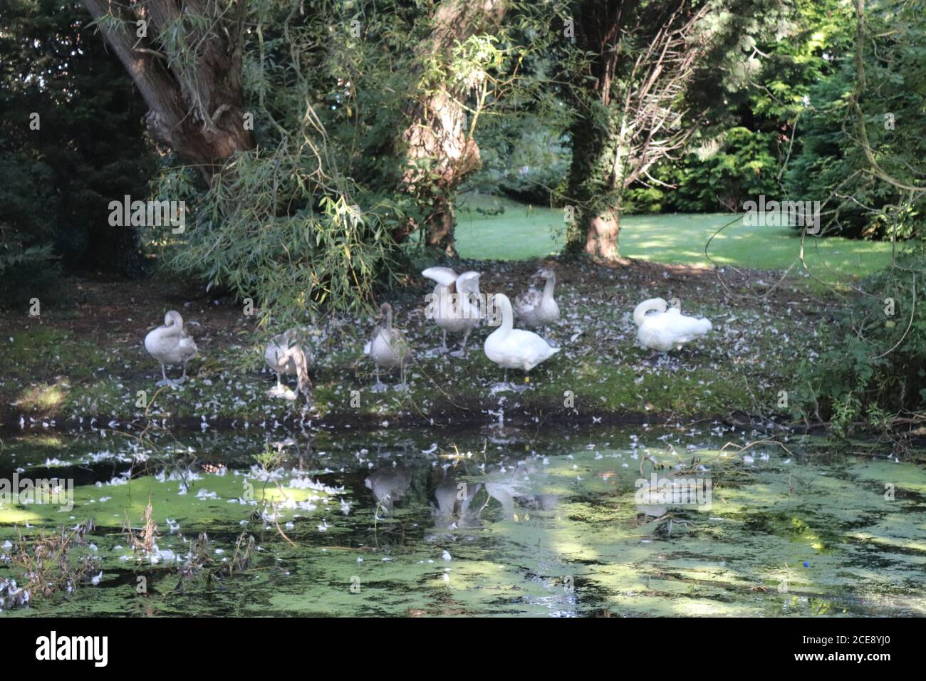 TWO SWANS WITH THEIR FIVE SYGNETS ON THE CANAL FROM WOMBWELL TO ELSECAR,BARNSLEY,SOUTH YORKSHIRE,ENGLAND. Stock Photo