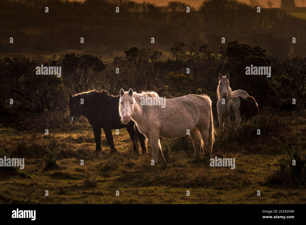 Wary wild Bodmin Ponies grazing on the rugged Bodmin Moor in Cornwall. Stock Photo