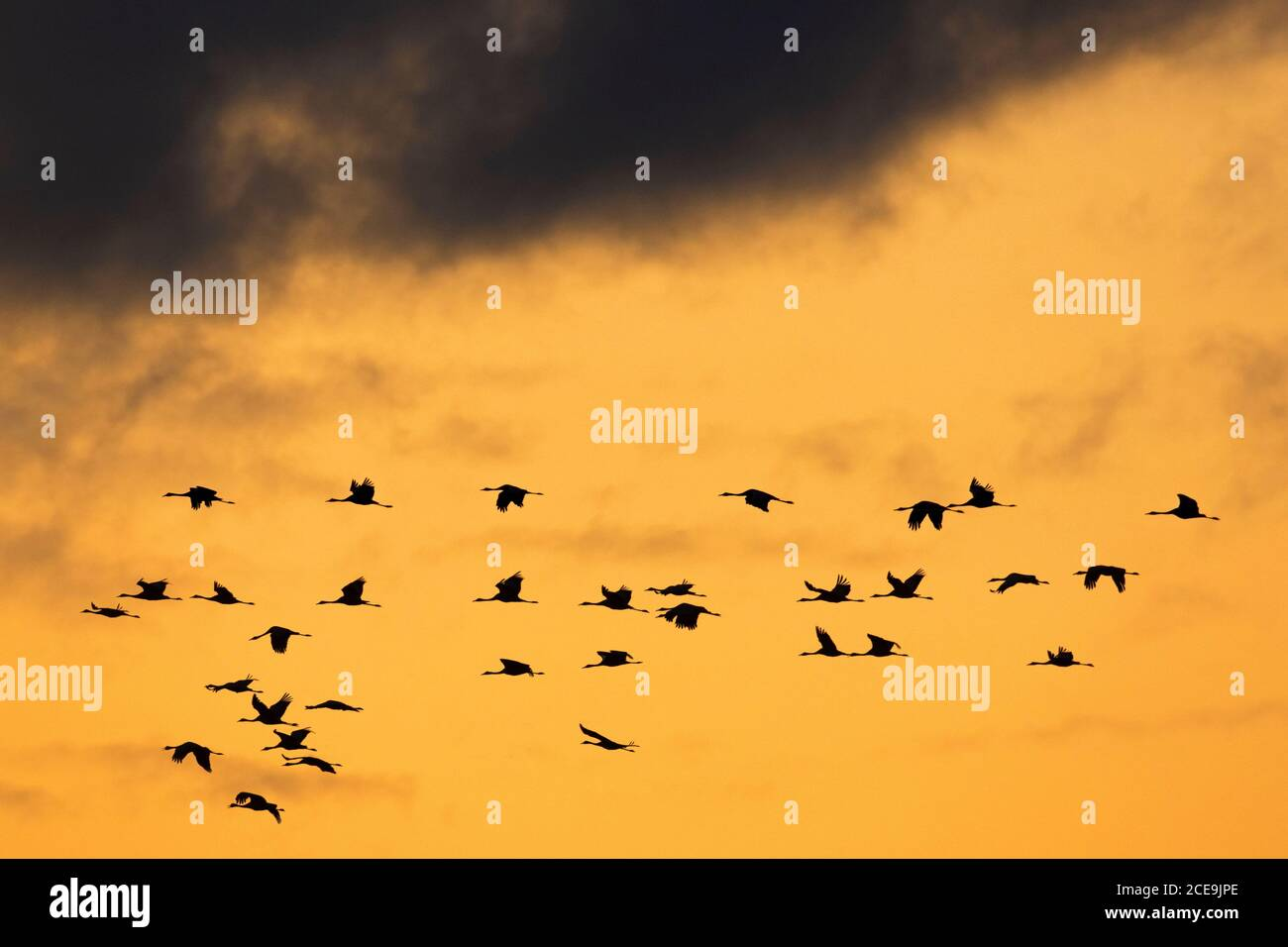 Migrating flock of common cranes / Eurasian crane (Grus grus) flying at sunset during migration, silhouetted against orange sky Stock Photo