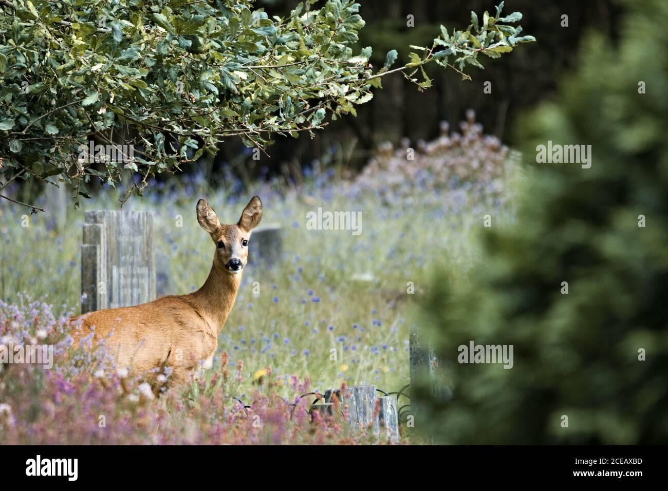 Female roe deer doe (Capreolus capreolus) gazing into the distance of Brookwood cemetery Stock Photo