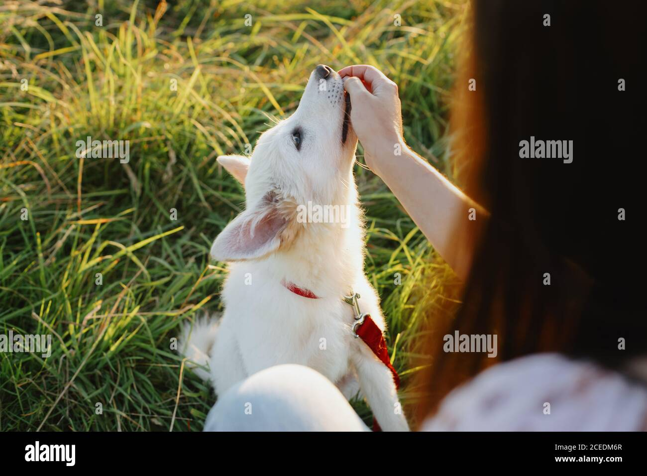 Adorable fluffy puppy having treat for giving paw to girl owner. Woman training cute white puppy to behave  in summer meadow in warm sunset light. Loy Stock Photo