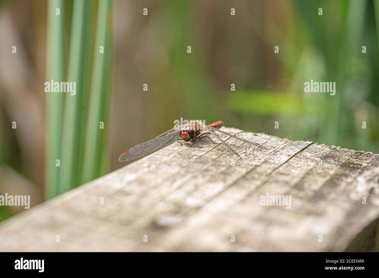 Close up macro view of Red Darter Dragonfly Head Eyes and Wings extreme close up banner image Stock Photo