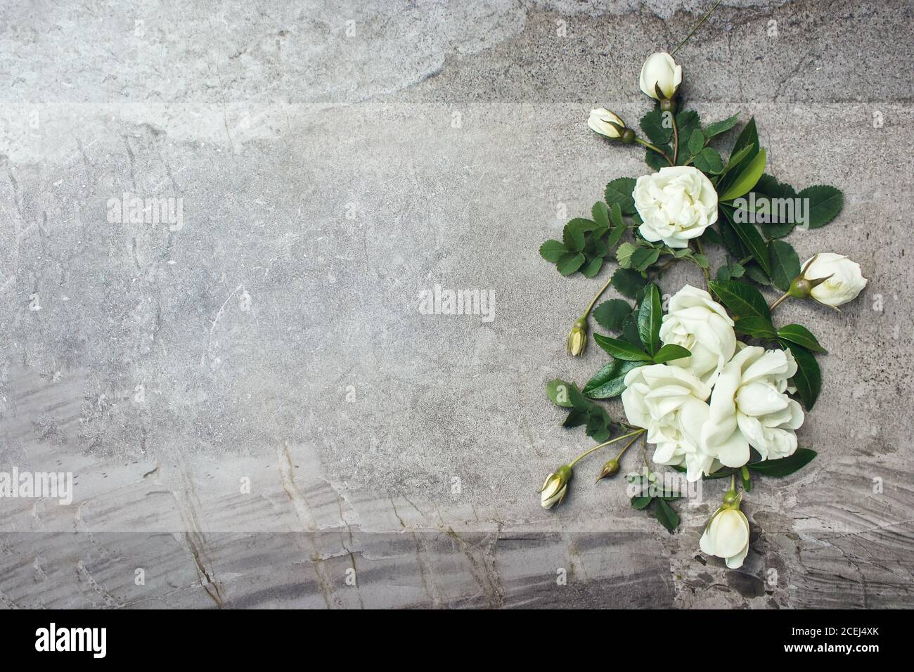 White Rose On Grey Background High Resolution Stock Photography And Images Alamy