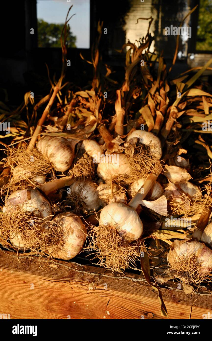 Freshly picked, organic, natural garlic bulbs curing and drying on racks at a small farm inside barn located outside Monroe, Wisconsin, USA Stock Photo