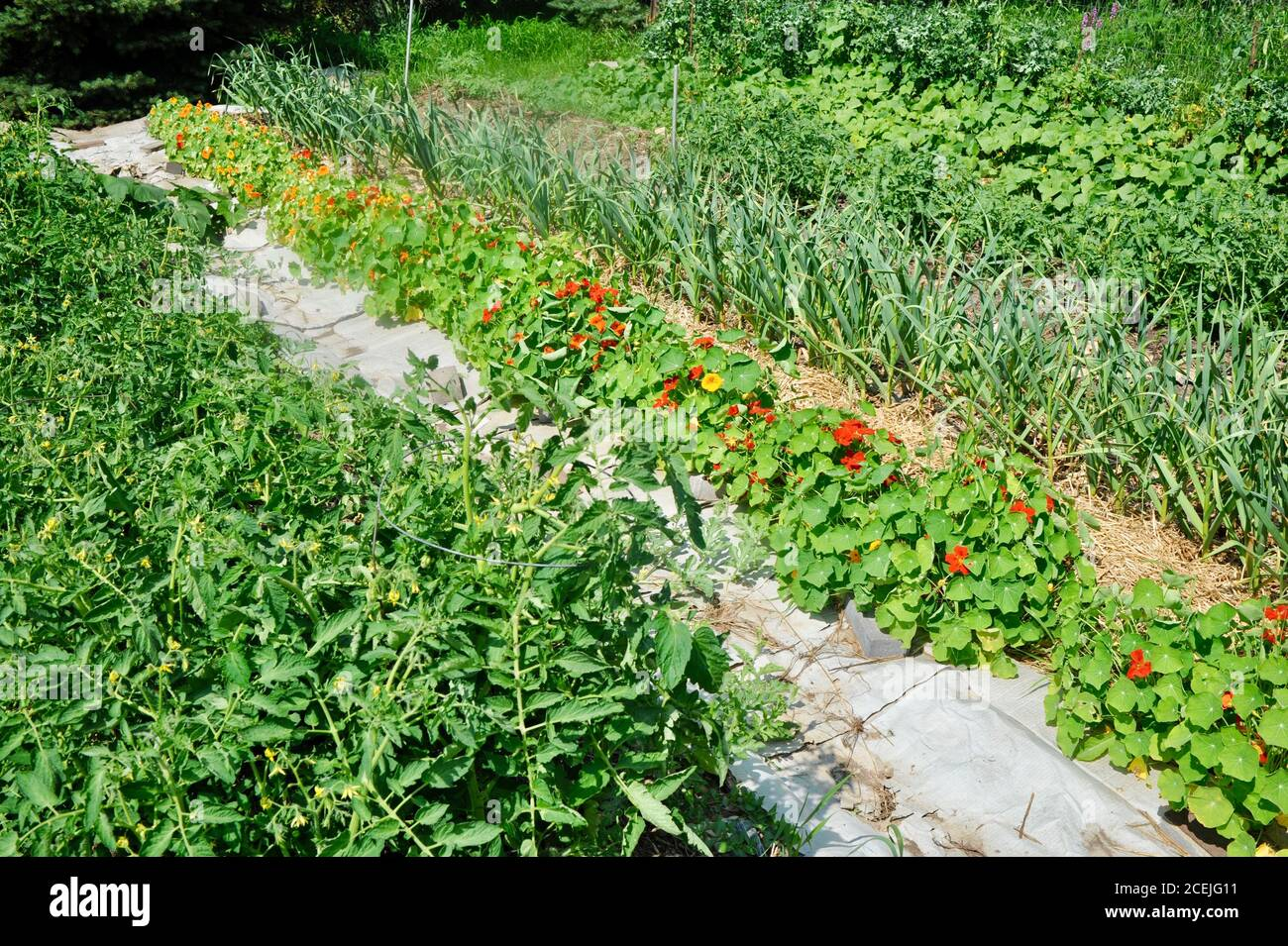 Rows of various healthy crops including garlic, nasturtiums, tomatoes and cucumbers, on a small farm in Browntown, Wisconsin, USA Stock Photo