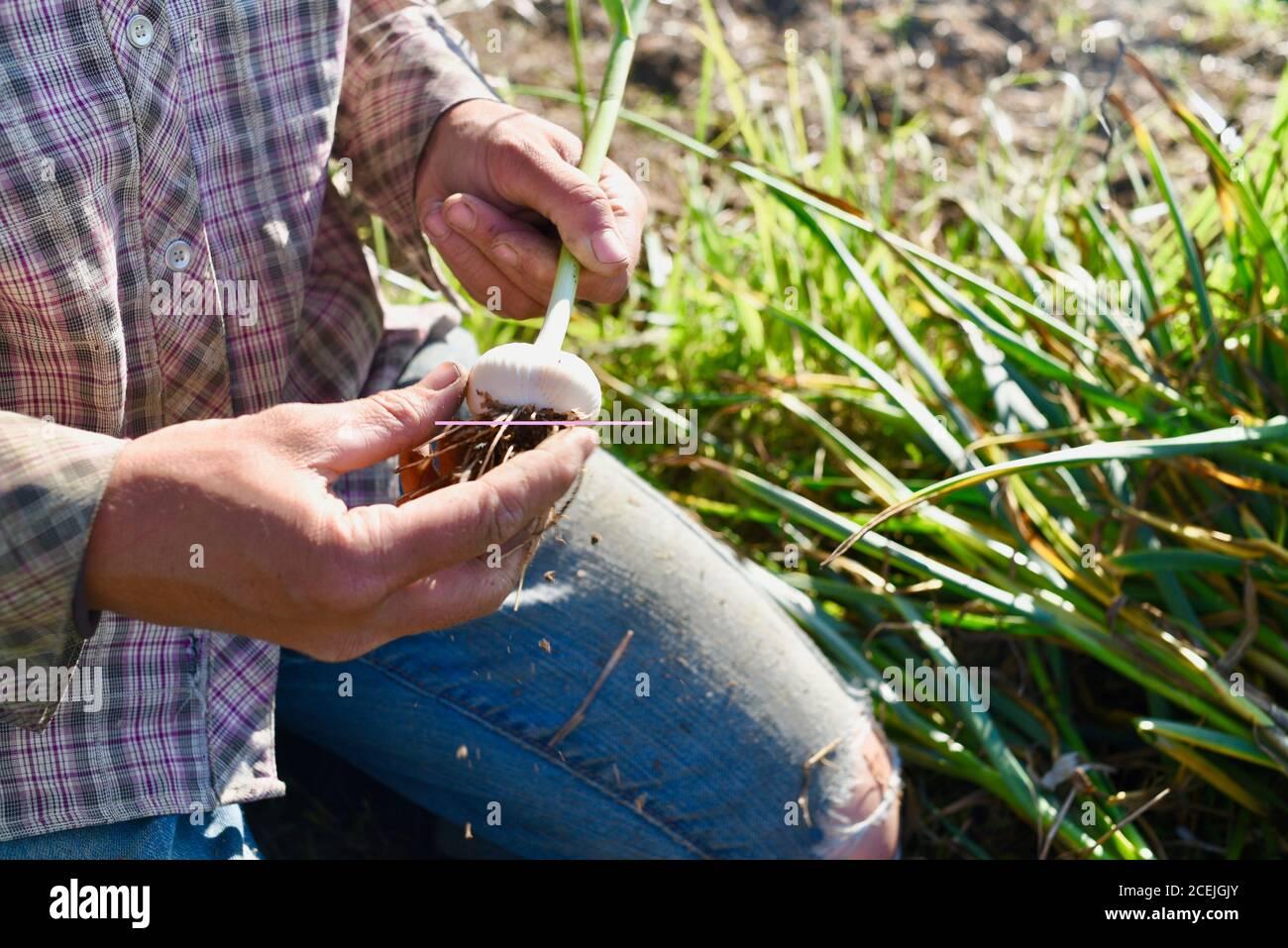 Woman farmer digging up and harvesting organic garlic bulbs, brushing off soil, in growing field at a small farm in Decorah, Iowa, USA Stock Photo