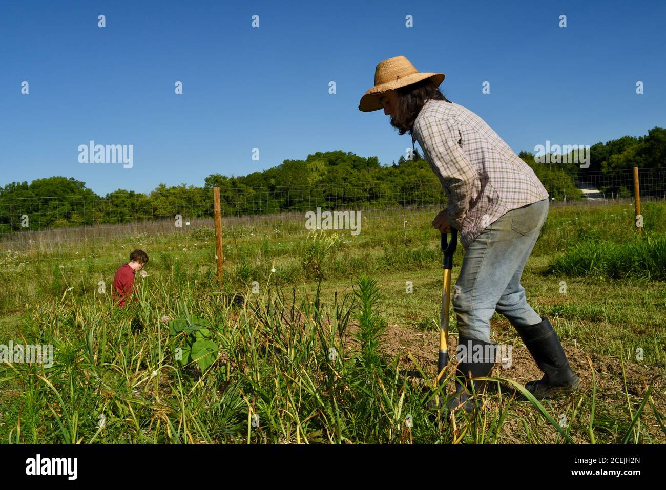 Two women farmers digging up and harvesting organic garlic bulbs in growing fields on a sunny day with blue sky, at a small farm in Decorah, Iowa, USA Stock Photo