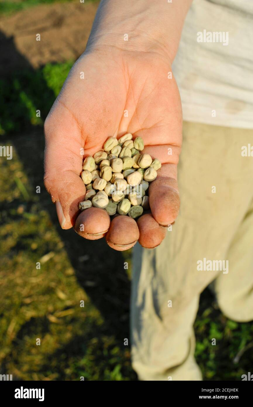 Woman farmer with many seeds in palm of hand, planting row of sugar snap peas in early spring on a small farm in Browntown, Wisconsin, USA Stock Photo
