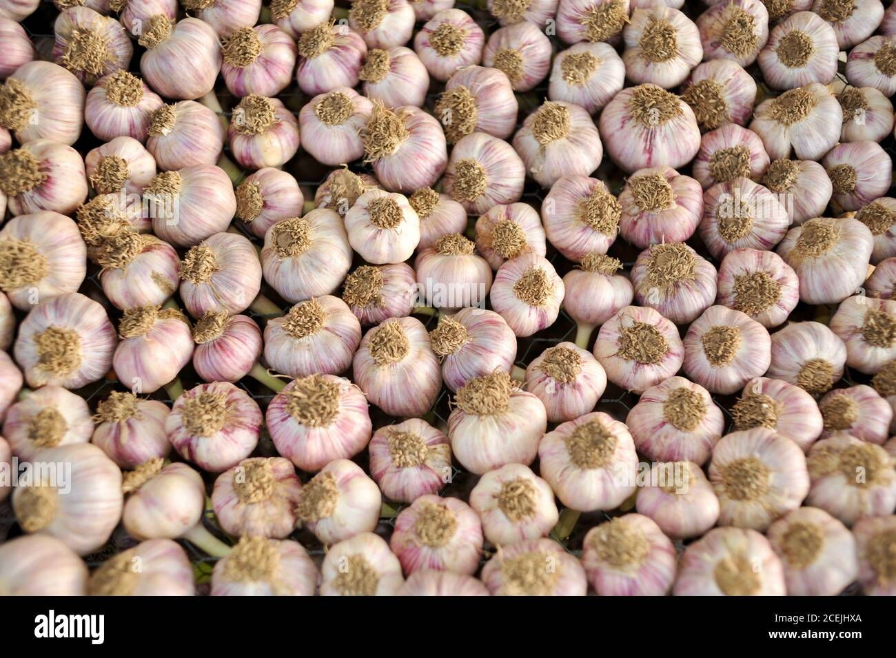 Freshly picked, organic, natural garlic bulbs curing and drying on racks at a small farm outside Hillsboro, Wisconsin, USA Stock Photo
