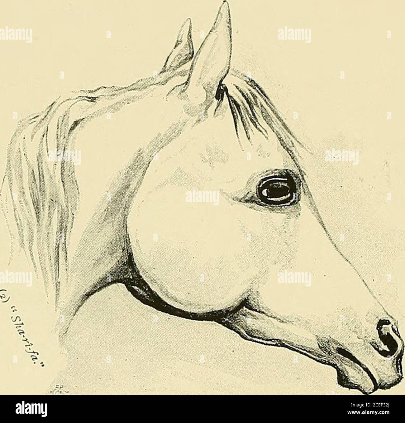 The Arabian Horse His Country And People With Portraits Of Typical Or Famous Arabians And Other