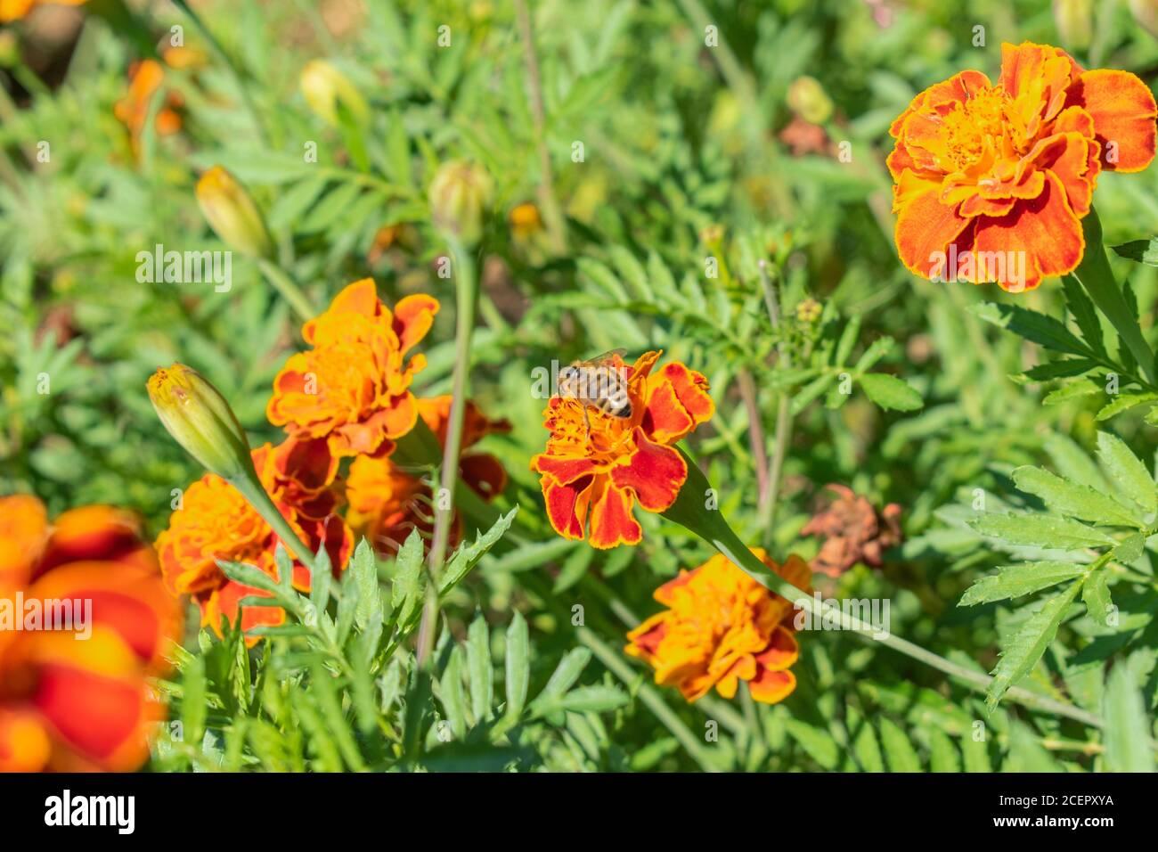 Orange flowers, French marigold, Tagetes patula Stock Photo