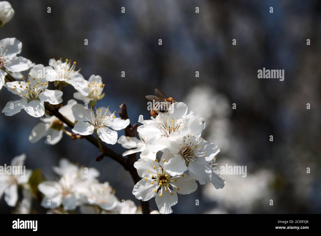 Bee collects pollen from white flowers Stock Photo