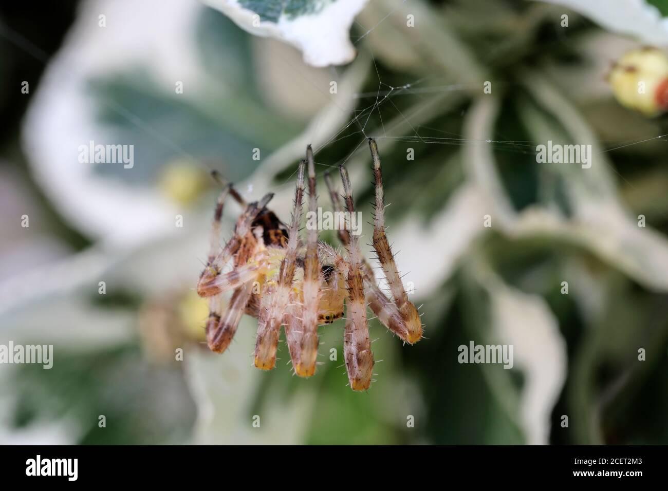 Common Garden Spider Araneus diadematus weaving its Web, England UK Stock Photo