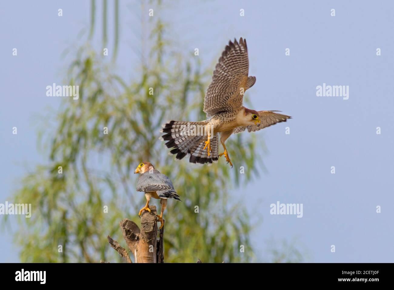 black shouldered kite, shikra, falcon, eagle, osprey , kestrel and other birds of prey in Pakistan Stock Photo