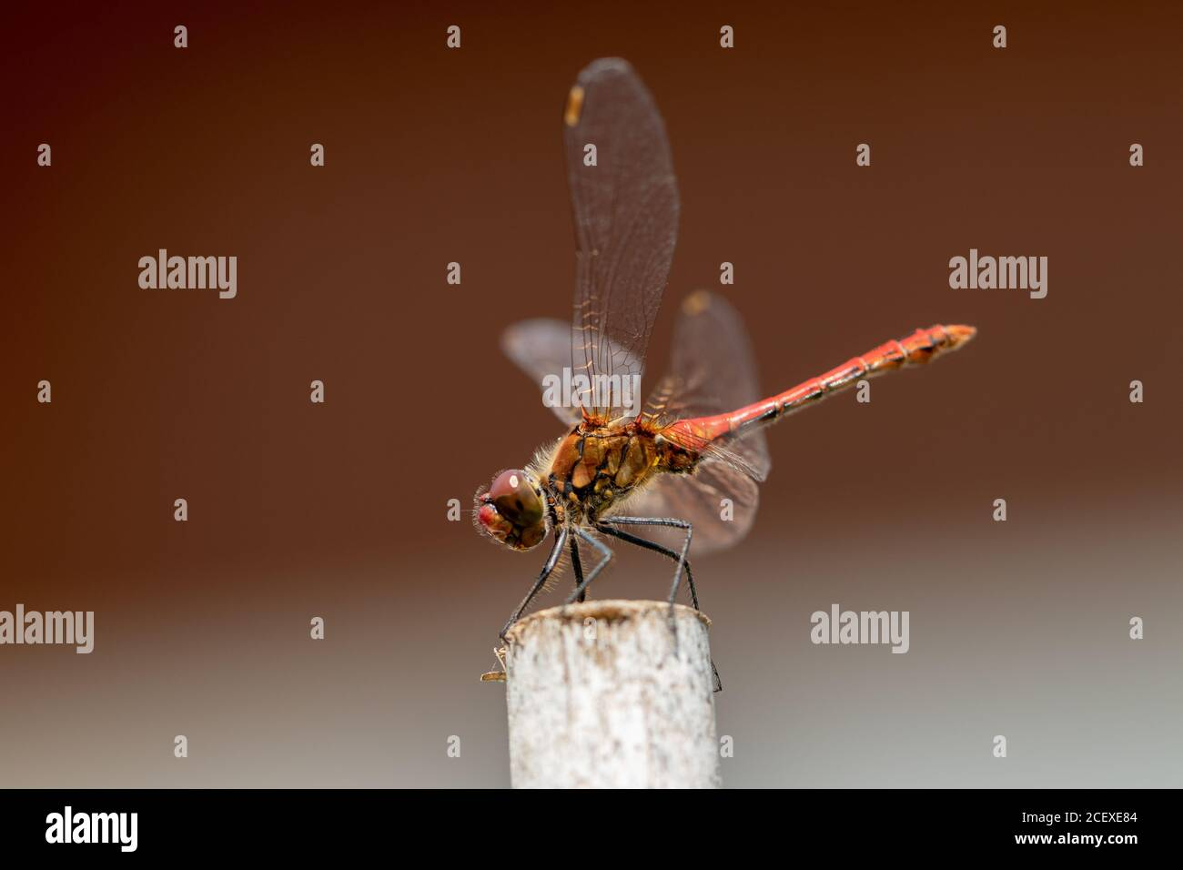 Dragonfly background. Closeup of a blood red dragonfly female (Sympetrum sanguineum) with large transparent wings and yellow black body sitting on old Stock Photo