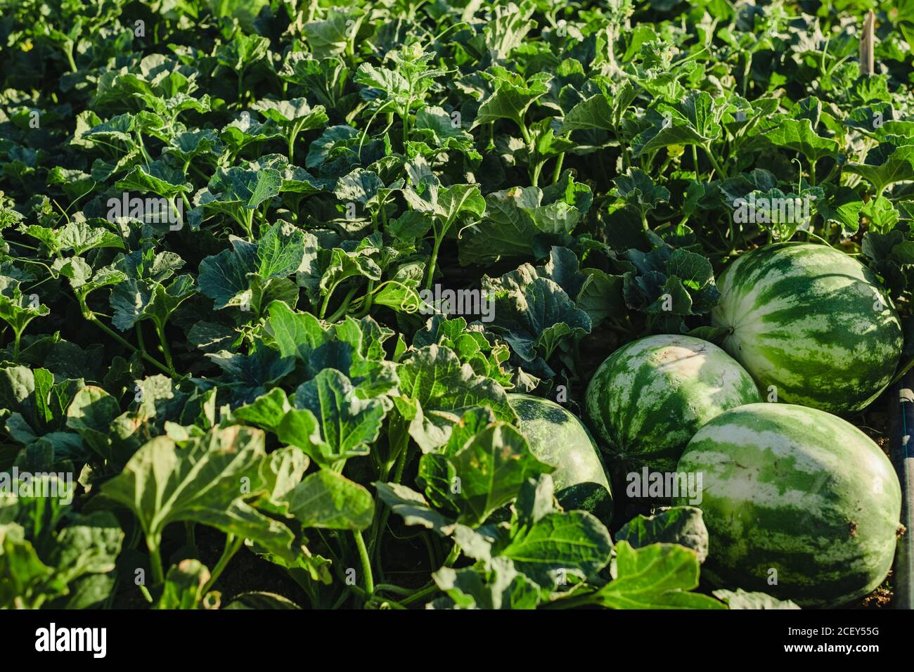 Watermelon Field High Resolution Stock Photography And Images Alamy