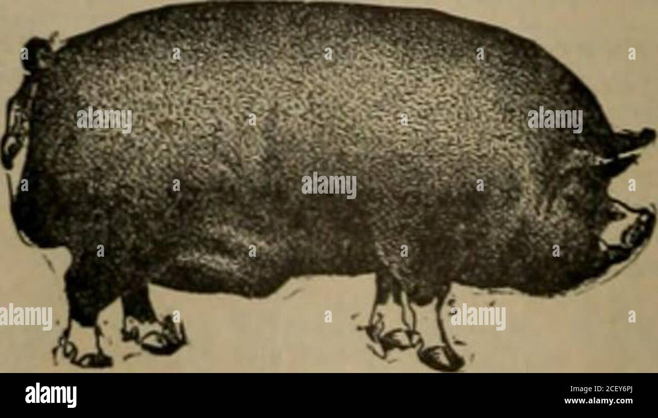 . The Southern planter. FOREST HOME FARM Offers For Sale. 6eri(shire Boars as follows :Yearling Bcar« from Imported i^nimals.1, 10 Months Old Boar. FINE.6, 8 Months Old Boar Pigs.Also a large number of pigs of both sexes. Write FOREST HOME FARM PURCELLVILLE, VIRGINIA. 1906.] THE SOUTHERN PLANTER. 917 BA.KED Apples. Wash tlie apples and carefully cutout any specked places; quarter themand remove the core, do not peel;put them into a deep baking pan withlayers of sucar between and on topdabs of butter; bake slowly until theapples are clear. Serve either hot orcold with cream. Pesteot Ykast. Buy Stock Photo