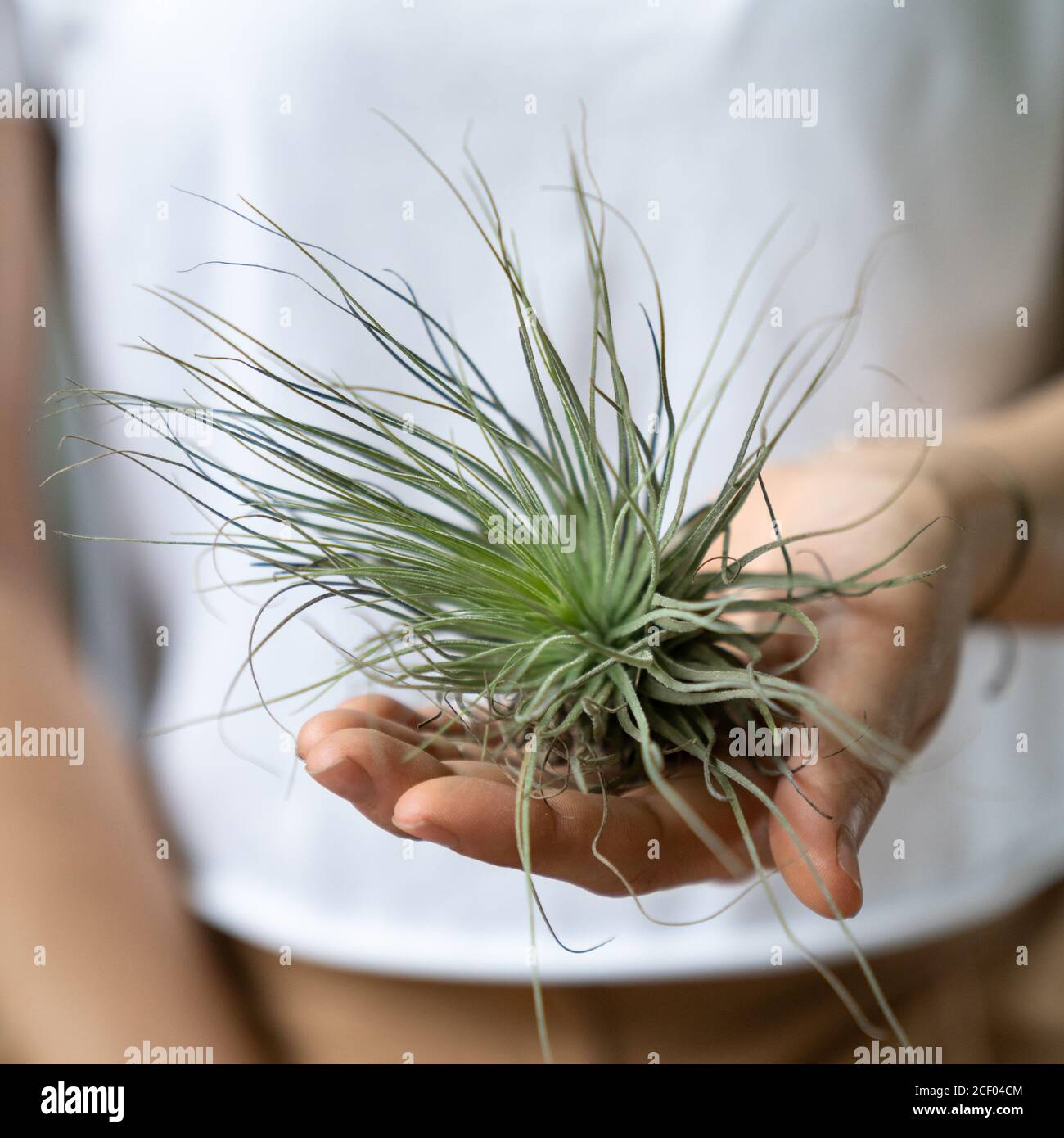 Woman Holding On Hand Air Plant Tillandsia Plant That Does Not Require A Flower Pot Stock Photo Alamy