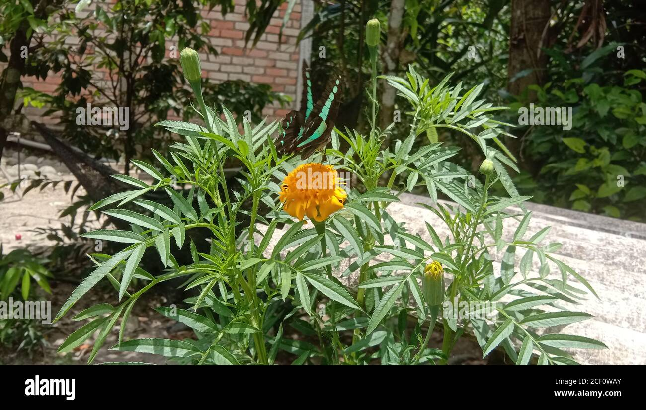 A Beautiful Butterfly looking for honey on the orange tagetes patula flowers or mexican flower or marigold flower family Stock Photo