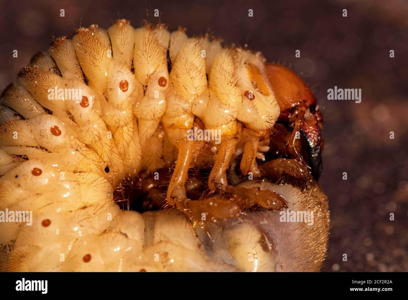 May beetle larvae.Larvae of dung beetle close-up. Stock Photo