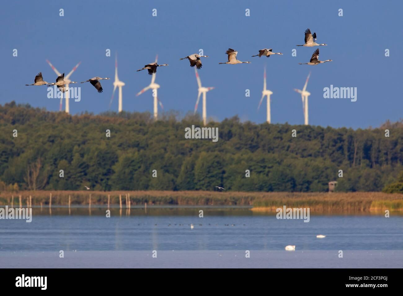 Flock of common cranes / Eurasian crane (Grus grus) group flying over lake in autumn / fall, Mecklenburg-Western Pomerania, Germany Stock Photo