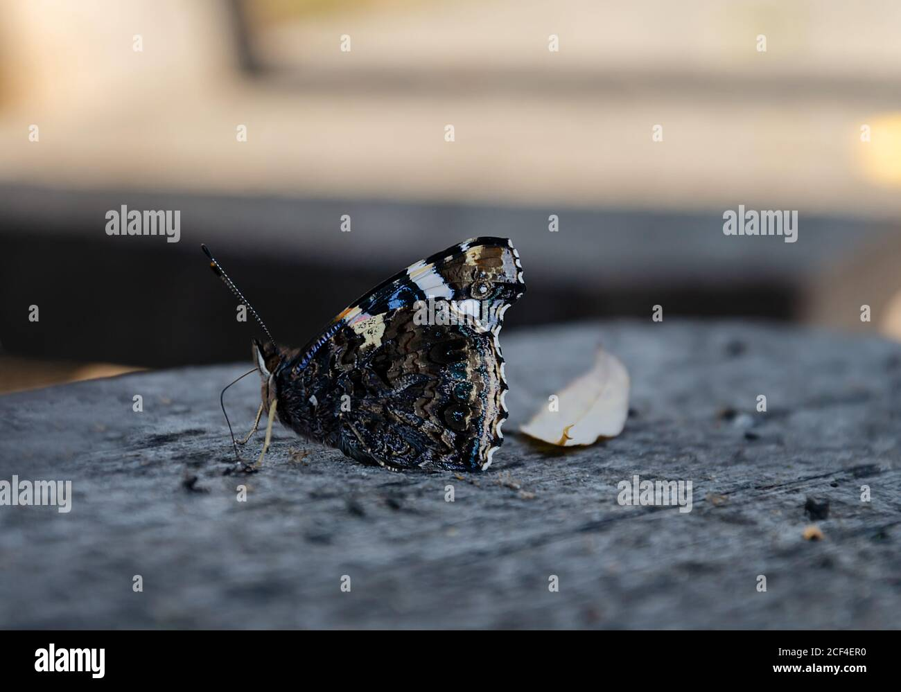 butterfly sits on a gray wooden background, autumn afternoon close-up Stock Photo