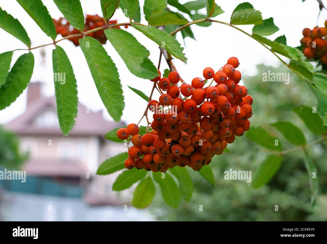 mountain ash red, berries with leaves, in an autumn day, close-up Stock Photo