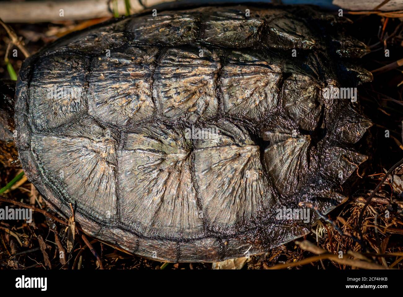 Close-up of the shell of a  young Common Snapping Turtle (Chelydra serpentina). Stock Photo
