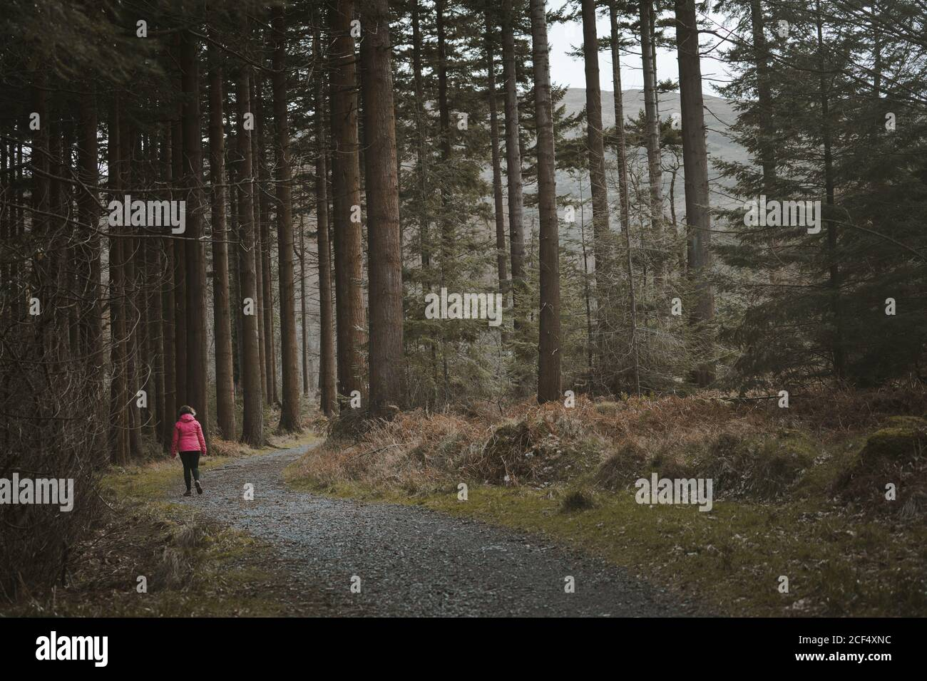 Back view of anonymous woman traveler in warm jacket walking on forest while visiting Tollymore Forest Park in Northern Ireland in spring day Stock Photo