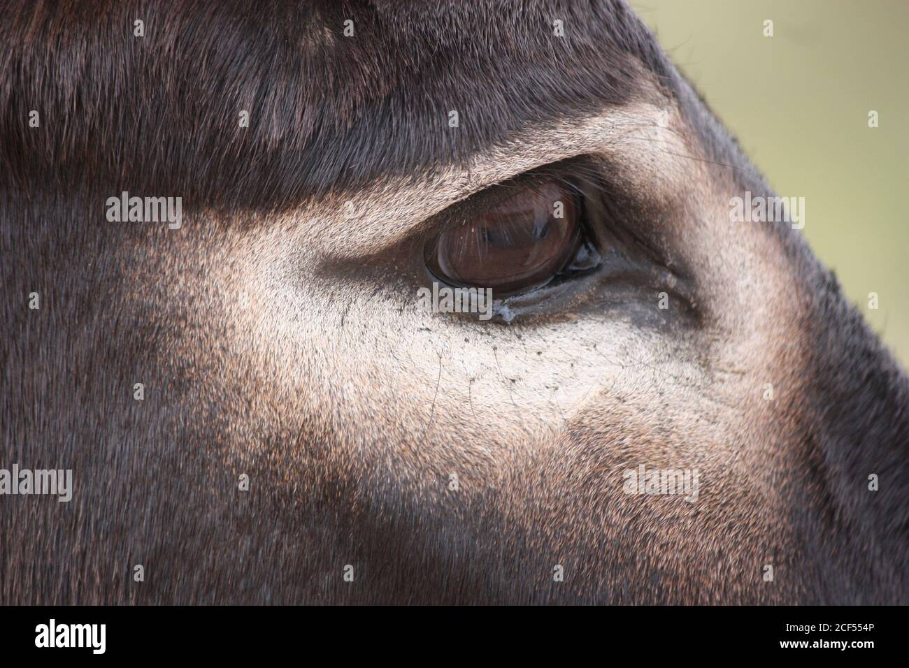 Portrait of dark brown mule face with closeup of teary eyes, front and profile Stock Photo