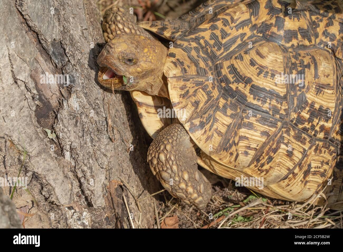 Leopard Tortoise (Stigmochelys pardalis). Morning temperature rise induces ectothermic reptile into awakening for activites including seeking, foragin Stock Photo