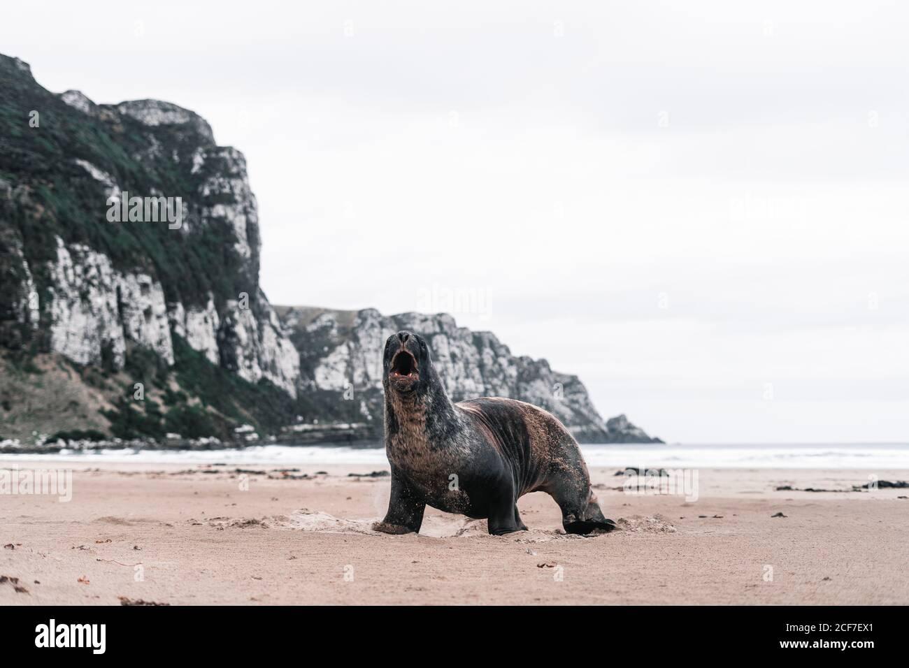 Big screaming seal on rocky shore in Purakaunui, New Zealand in cloudy day Stock Photo