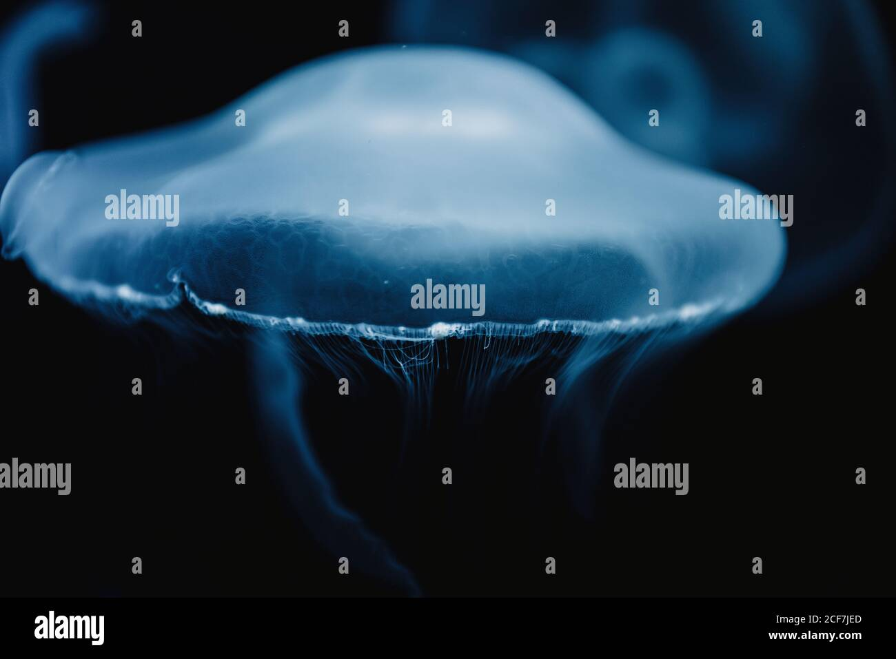 Tranquil transparent blue jellyfish under sea turquoise water on blurred background Stock Photo