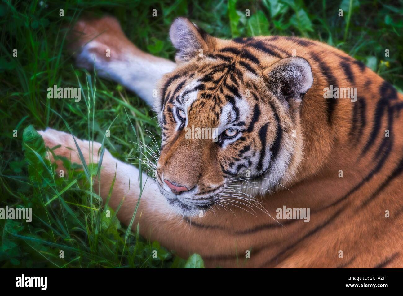 From above huge tiger lying on grass in colorful jungle near trees with small leaves in sunlight looking at camera Stock Photo