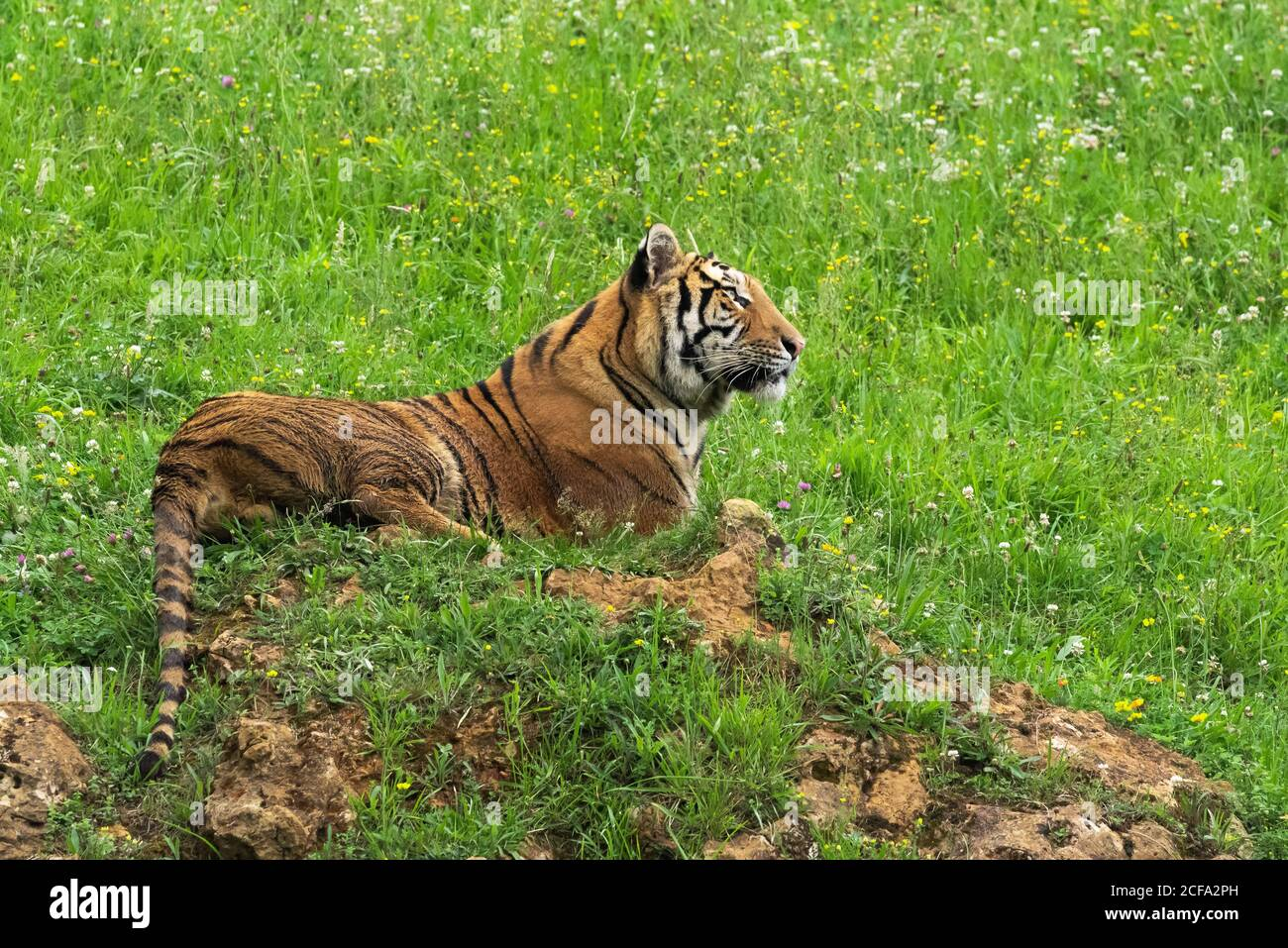 Huge tiger lying on grass in colorful jungle near trees with small leaves in sunlight Stock Photo