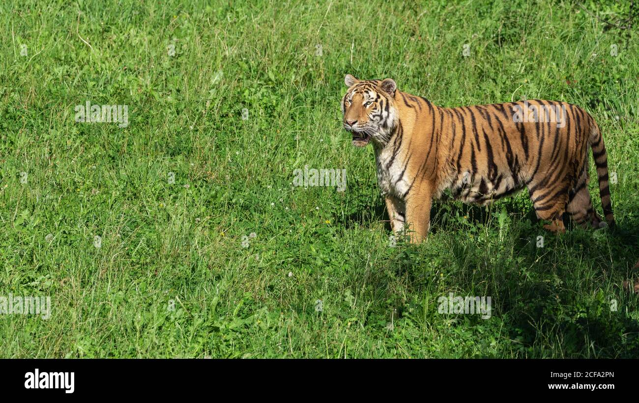 Huge tiger on grass in colorful jungle near trees with small leaves in sunlight Stock Photo